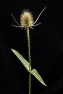 Die Wilde Karde (Dipsacus fullonum L., Syn.: Dipsacus sylvestris Huds.)[1] ist eine Pflanzenart, die zur Unterfamilie der Kardengewächse (Dipsacoideae) gehört. Der Name Dipsacus kommt aus dem griechischen dipsa für Durst: Nach Regen sammelt sich in den Trichtern der Stängelblätter das Wasser, das Vögel oder Wanderer trinken können.       Tina Lösdau<br /> Wiesenweg 61<br /> 22393 Hamburg