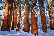Giant Sequoia in winter, Giant Forest, Sequoia National Park, California USA