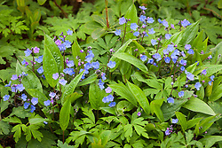 Omphalodes cappadocica AGM. Navelwort