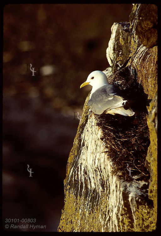 Kittiwake perches on cliff ledge on grass nest, toward sunset on Grimsey Island in May. Iceland