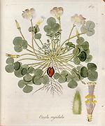 Woodsorrel (Oxalis rigidula). Illustration from 'Oxalis Monographia iconibus illustrata' by Nikolaus Joseph Jacquin (1797-1798). published 1794