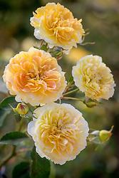 Rosa 'Charles Darwin' syn. 'Auspeet'