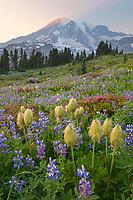 Mount Rainier Paradise wildflower meadows containing  a mixture of Western Anemone, Broadleaf Lupines, Pink Mountain Heather, and American Bistort. Mount  Rainier National Park, Washington