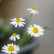 A wasp (European hornet Vespa crabro) visiting a camomile flower (Anthemis cotula) plant. Photographed in Israel in spring in April