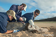 NOAA researcher Dr. Charles Littnan (center) attaches a Crittercam and tracking instrumentation package to a Hawaiian monk seal, Monachus schauinslandi, Critically Endangered endemic species, west end of Molokai, Hawaii, photo taken under NOAA permit 10137-6, Ho ike a Maka Project