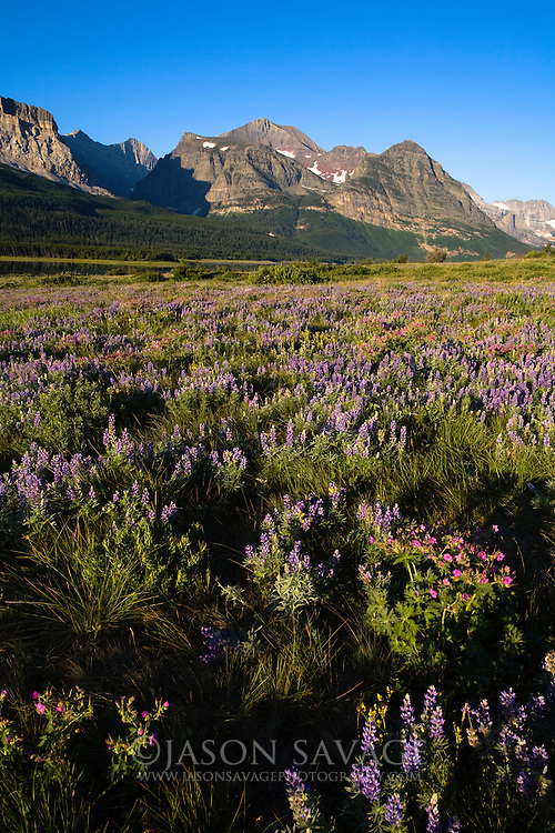 Wildflowers in Many Glacier,Glacier National Park