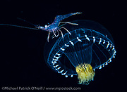An unidentified shrimp hitchhikes on a small colorful jellyfish far offshore Palm Beach, Florida in the Gulf Stream current late at night.