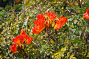 African Tulip Flower, Hawaii