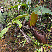 Pitcher plant (Nepenthes rajah), Kinabalu Summit Trail, Kinabalu National Park, Borneo, Malaysia.