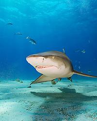 lemon shark, Negaprion brevirostris, Grand Bahama, Atlantic Ocean