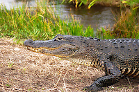 Alligator close-up in the Everglades National Park.