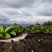 Telfair's skink, an endmeic lizard species on Round Island, Mauritius