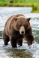 Coastal brown bear chasing salmon in Geographic Harbor, Katmai National Park, Southwest Alaska, summer
