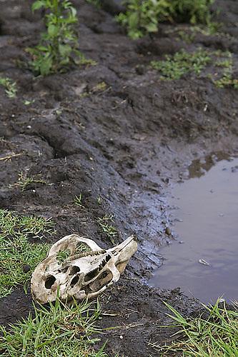 South America, Uruguay, Rocha, Parque Nacional Santa Teresa, Estacion Biologica Potrerillo de Santa Teresa, capybara, Hydrocoerus hydrochaeris, carpincho, skull, wallow