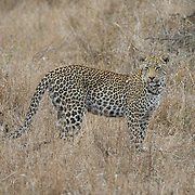 Leopard. Londolozi Private Game Reserve. South Africa.