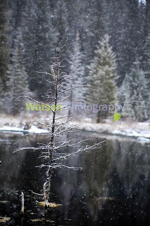Snow Tree of the Pond