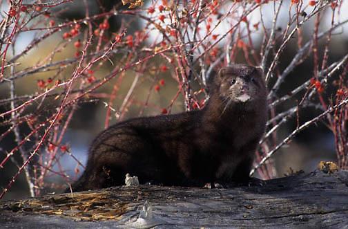Mink, (Mustela vison) Adult on log near rosehip bush.Winter. Montana.  Captive Animal.