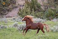Stalllion Wild horses in Theodore Roosevelt National Park, North Dakota, USA