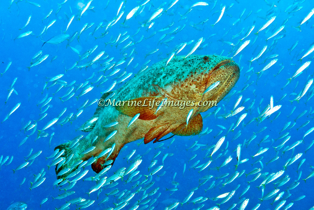 Goliath Grouper often around clusters of large coral growths and artifical reefs, occasionally hide in dark recesses in Tropical West Atlantic; picture taken Juipter, FL.