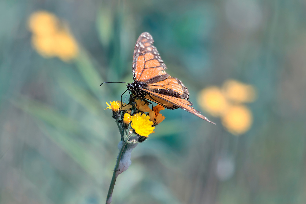 A Monarch Butterfly perched atop yellow wildflowers on a backdrop of Faded Green