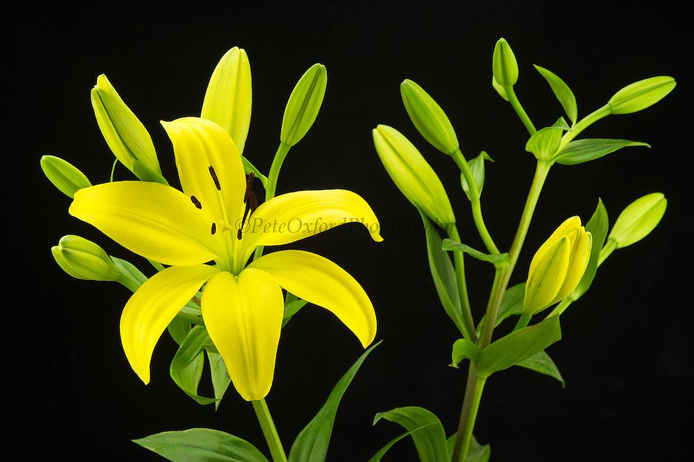 Yellow Lily<br /> ECUADOR, South America