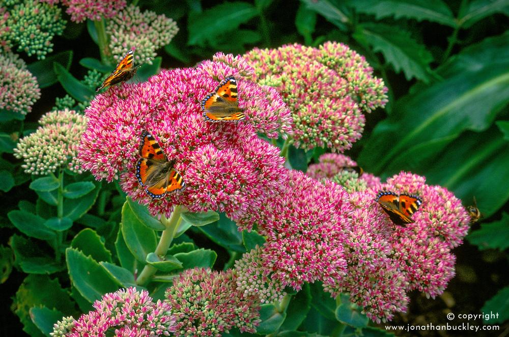 Sedum 'Autumn Joy' syn. Sedum 'Herbstfreude' covered with butterflies<br /> Ice plant