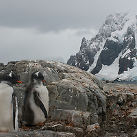 Young Gentoo Penguins on Petermann Island, Antarctica. Behind them is a mountain on the Antarctic Peninsula.