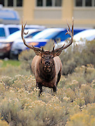 A large, angry bull elk charges at the camera.