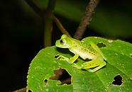 Emerald Glass Frog, Espadarana prosoblepon