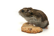 Pet hamster and cookie
