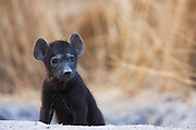 Hyena cub (Crocuta crocuta) watches with curiosity from the safety of their den, Khwai River, Botswana, Africa