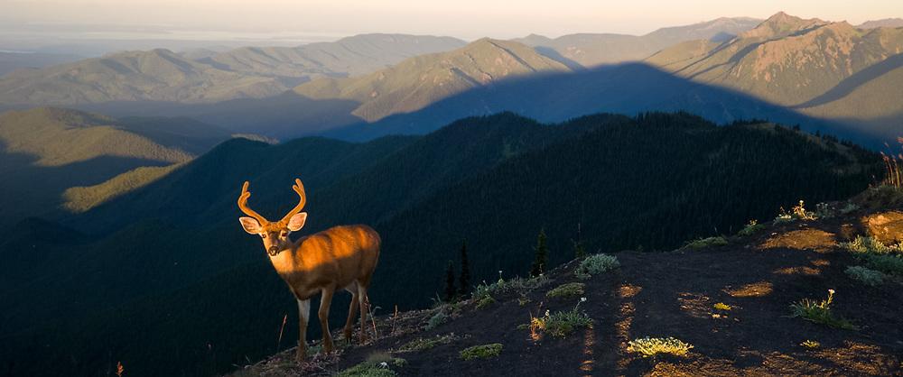 Male pacific blacktail deer (Odocoileus hemionus sitkensis), evening light, July, Blue Mountain, Olympic Peninsula, Clallam County, Northeast Olympic National Park, Washington, USA
