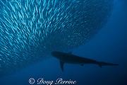 copper shark or bronze whaler, Carcharhinus brachyurus, feeding on a baitball of sardines, Sardinops sagax, South Africa ( Indian Ocean )