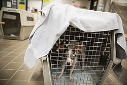 October 7, 2016 - Florida, U.S. - LOREN ELLIOTT   |   Times .A scared dog is seen in a crate at a pet-friendly Red Cross hurricane shelter at Burnett Middle School in Seffner, Fla., on Friday, Oct. 7, 2016. Many people displaced by Hurricane Matthew checked out  of the pet-friendly shelter Friday, but the shelter housed 75 people, six dogs and three cats Thursday night. (Credit Image: © Loren Elliott/Tampa Bay Times via ZUMA Wire)