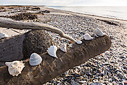 Sea shells along Boneyard Beach at Botany Bay Plantation February 16, 2014 in Edisto Island, South Carolina. Each year 144,000 cubic yards of sand is washed away with the waves at the beach and nearshore eroding the coastal forest along the beachfront.