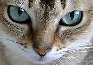 Rockville Centre. October 5, 2005.  Closeup of Singapura cat face