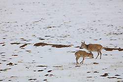 June 12, 2017 - Hoh Xil, Hoh Xil, China - Hoh Xil, CHINA-June 8 2017: (EDITORIAL USE ONLY. CHINA OUT)..Tibetan antelope in Hoh Xil (Kekexili) in Qinghai-Tibet Plateau in China. Tibetan antelope is a medium-sized bovid native to the Tibetan plateau. Fewer than 75,000 individuals are left in the wild. In recent years, they have become endangered due to poaching. They are hunted for their soft and warm wool which is usually obtained after death. This wool is known as shahtoosh and is used to weave shawls . At present, international trade in their products is strictly prohibited. (Credit Image: © SIPA Asia via ZUMA Wire)