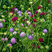 A field of Knautia Scabiosa, also known as honeysuckles. Photo by Adel B. Korkor.