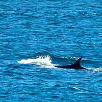 Orcas/KillerWhales