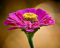 Pink Zinnia flower. Autumn Backyard Nature in New Jersey. Image taken with a Nikon 1 V3 camera and 70-300 mm VR telephoto zoom lens (ISO 200, 240 mm, f/5.6, 1/60 sec).