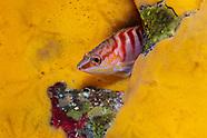 Hypoplectrodes dimidius (New Zealand Halfbanded perch)