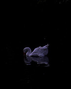 A goose swims in an artificial lagoon in Buenos Aires, Argentina on July 7, 2020. Argentina entered a full lockdown on March 20 that endured more than four months. The lagoon became our small piece of paradise, the only contact to nature in a mega city during lockdown.