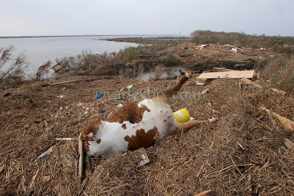 25th Sept, 2005. Hurricane Rita aftermath, Lake Calcasieu shipping canal close to Cameron, Louisiana one day after the storm smashed the coastline. Dead cattle and other animals litter the banks of the canal.