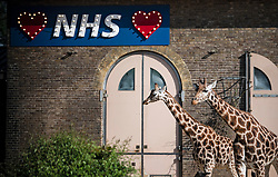 © Licensed to London News Pictures. 08/05/2020. London, UK. Giraffes Maggie and Molly stand under a sign showing support for the NHS at ZSL London Zoo in Regents Park,  during lockdown. Government is set to announce measures to easy lockdown, which was introduced to fight the spread of the COVID-19 strain of coronavirus. . Photo credit: Ben Cawthra/LNP