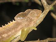 Africa, Madagascar, Panther Chameleon (Furcifer pardalis)