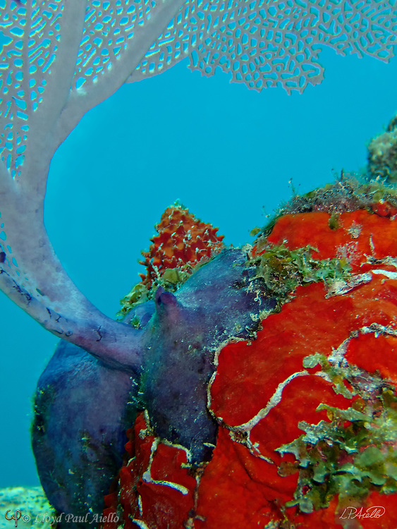 """A purple Sea Fan (Gorgonia ventalina) graces the top of a coral head covered in the red encrusting sponge Clathria (Microciona) spinose at a depth of 47 feet off the Riviera Maya in the Gulf of Mexico. Although they may look like plants, both sea fans and sponges are colonial marine animals.  Sea Fans are salt water invertebrates and belong to the order Alcyonacea.  Closely related to corals, they are found throughout the tropical and subtropical oceans of the world. They mostly prefer shallow waters with constant current, but have been found several thousand feet deep.  Each gorgonian polyp has eight tentacles which catch the plankton upon which they feed.  To facilitate this """"filter feeding"""", the """"fan"""" is always oriented across the prevailing current to maximize the water flow and food supplied to the gorgonian. Sponges are multicellular organisms that have bodies full of pores and channels allowing water to circulate through them.  There are 5,000 to 10,000 known species of sponges.  Sponges do not have nervous, digestive or circulatory systems, relying instead on a constant water flow through their bodies to obtain food and oxygen and to remove wastes."""