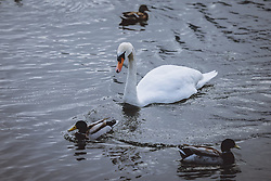 THEMENBILD - ein Hoeckerschwan jagt Enten am Zeller See, aufgenommen am 09. Maerz 2021 in Zell am See, Österreich // a mute swan hunts ducks at the Lake Zell, Zell am See, Austria on 2021/03/09. EXPA Pictures © 2021, PhotoCredit: EXPA/ JFK