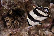 Banded Butterflyfish, Chaetodon striatus<br /> Linnaeus, 1758,  Grand Cayman