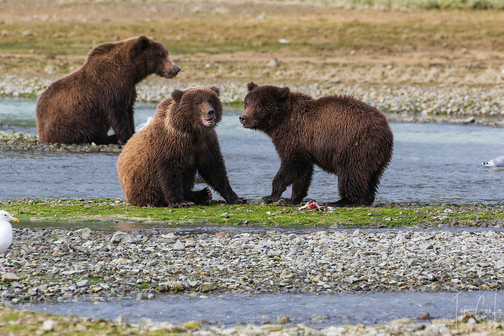 brown bear ~ Ursus arctos ~ mother & two cubs ~ Katmai National Park, Alaska ~ www.adventurequestX.com