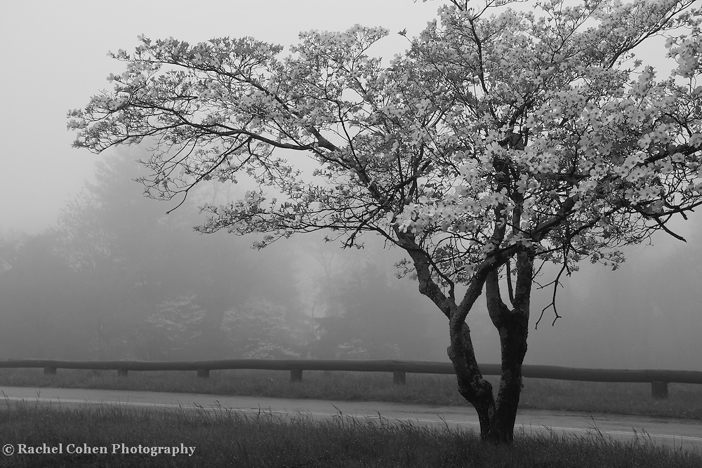 """""""Dogwood in Fog"""" mono<br /> <br /> Lone Dogwood Tree at Dickey Ridge in Shenandoah National Park in springtime.<br /> <br /> All About Fog by Rachel Cohen"""